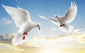 White Dove Wallpapers - Wallpaper Cave