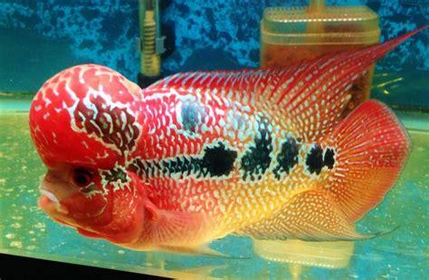 Makanan Ikan Hias Rainbow 9 jenis ikan hias louhan lengkap beserta gambar dan foto