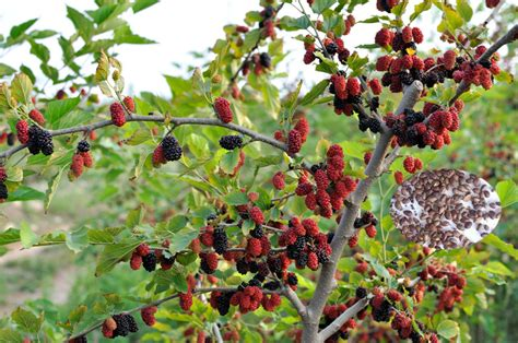Fruit Tree Seeds Mulberry Tree Seeds For Sale, View ...