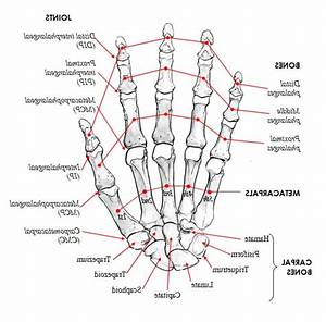 Hand Anatomy Bones And Joints