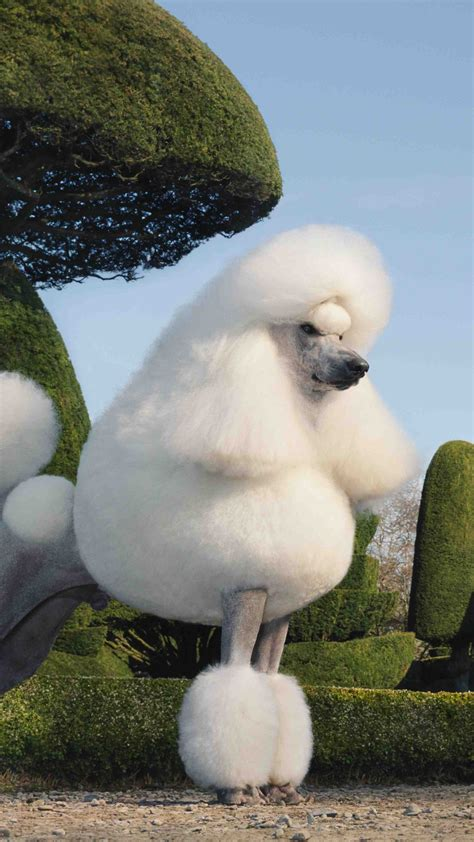 wallpaper poodle dog grass cute animals animals