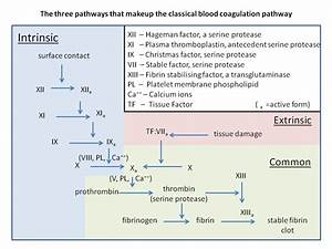 How Blood Clots  Platelets And The Coagulation Cascade