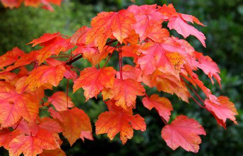 October Glory - Acer rubrum | Fota House