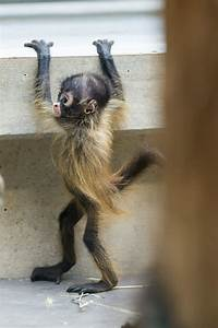 Baby Spider Monkey Want one :-)   Too cute   Pinterest
