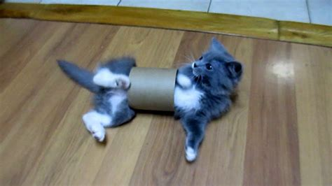 baby kitten  playfully stuck   toilet paper roll