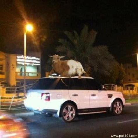 funny picture funny goat  car pakcom