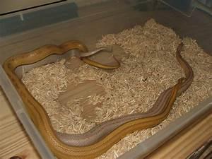 kingsnake.com photo gallery > Corn Snakes > Amber Stripe x ...