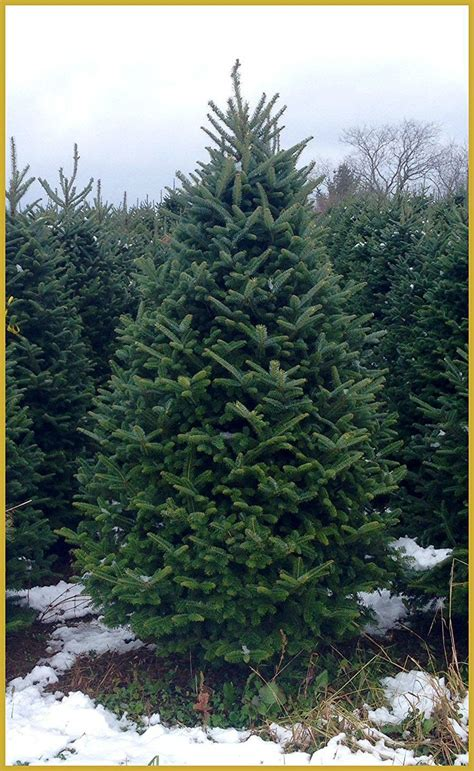best real christmas trees by me 5 great farms to purchase a tree