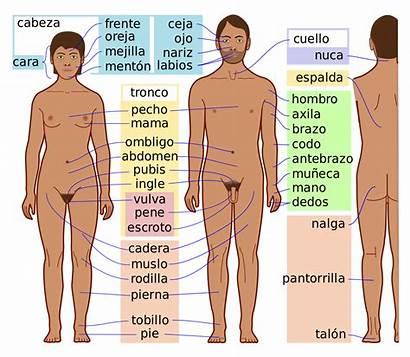 Human Wikipedia Svg Features Archivo Imagen Ver