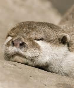 Cute Sea Otters Sleeping
