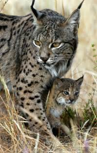 types of big cats large cat breeds cats types