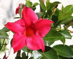 Pflanze Mit Roten Blüten : dipladenia mandevilla standort pflege berwinterung schneiden giftig ~ Eleganceandgraceweddings.com Haus und Dekorationen