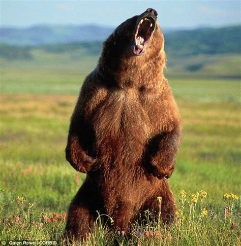 Grizzly Bear Attacks
