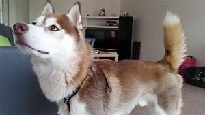 Video Pour Chien : harnais anti traction avis et comparatif de tous les harnais pour chien equipement actu et ~ Medecine-chirurgie-esthetiques.com Avis de Voitures
