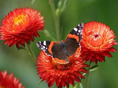 Butterfly Painted Lady Exotic Wallpapers Desktop Pixels