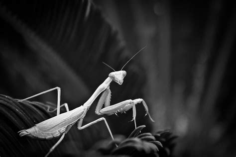 Praying mantis black and white photography | Tattoos and ...