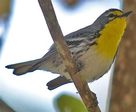 Backyard Identification by Backyard Bird Identification Warblers Vireos