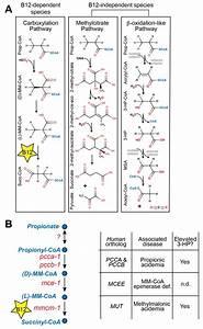 Metabolic Network Rewiring Of Propionate Flux Compensates Vitamin B12 Deficiency In C  Elegans