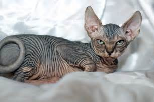 hairless cat for what would hairless furries look like and which one would