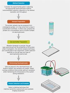 Introduction To Protein Electrophoresis