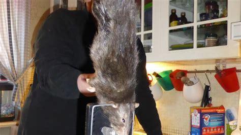 Giant Rat Terrorizes Family & Gets Caught  Biggest Rat In