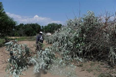 olive garden westminster co westminster continues battle against invasive russian