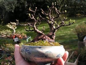 Profondeur Des Racines D Un Figuier : volution d 39 un figuier page 3 le coin des shohin et mame forums parlons bonsai ~ Nature-et-papiers.com Idées de Décoration