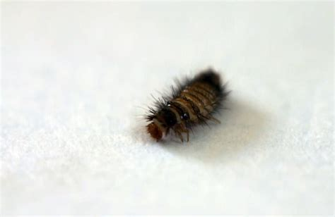 Pennsylvania Carpet Beetle Control What To Look For When Hiring A Carpet Cleaner Outwell Nevada M Color Wall Goes With Grey Moulded Car Adelaide How Keep An Area Rug From Moving On Top Of Cleaning Chillicothe Mo Replace Cost Calculator Adamson Carpets Stoney Creek