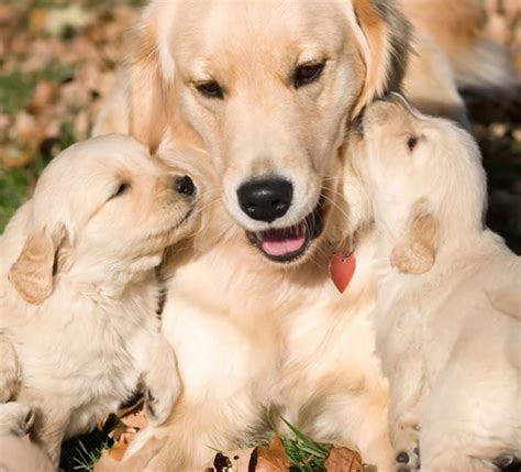 Golden Retriever Puppies Pictures Cute And Adorable