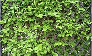 Sichtschutz Pflanzen Pflegeleicht : sichtschutz mit kletterpflanzen kletterpflanzen garten ~ A.2002-acura-tl-radio.info Haus und Dekorationen