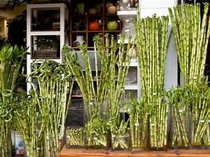 Bambus Als Zimmerpflanze : gl cksbambus urban jungle pinterest gl cksbambus drachenbaum und bambus ~ Eleganceandgraceweddings.com Haus und Dekorationen