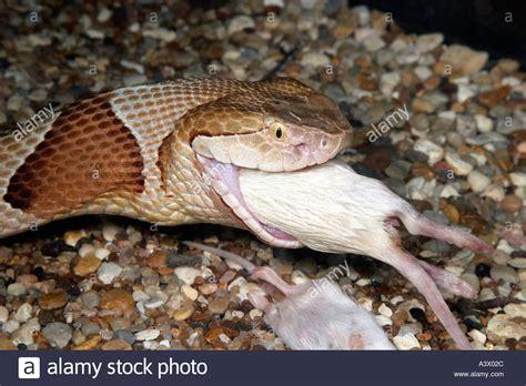 Copperhead 14374js 02 southern copperhead agkistrodon contortrix a mouse