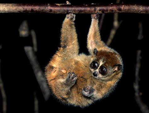 Pygmy Slow Loris Info Diet Habitat Conservation Pictures