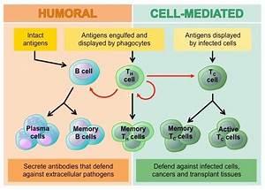 Immune Pathways | BioNinja