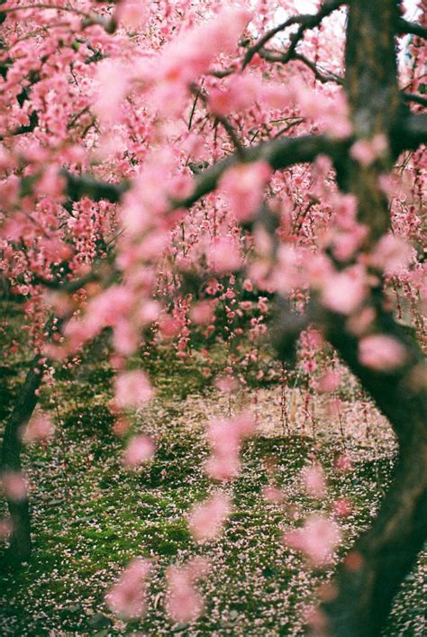 trees with pink blossoms hipster tree on tumblr