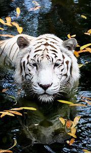 White Tiger, Singapore Zoo | Animals beautiful, Animals ...