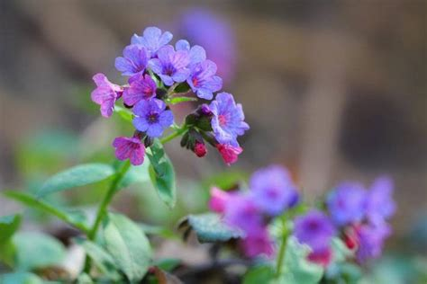 best plants for poor soil plants for clay soil with poor drainage pulmonaria grow your way www tinyplantation com
