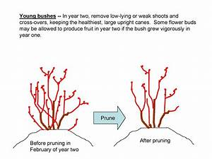 The Nc Blueberry Journal  Pruning Young Blueberry Plants