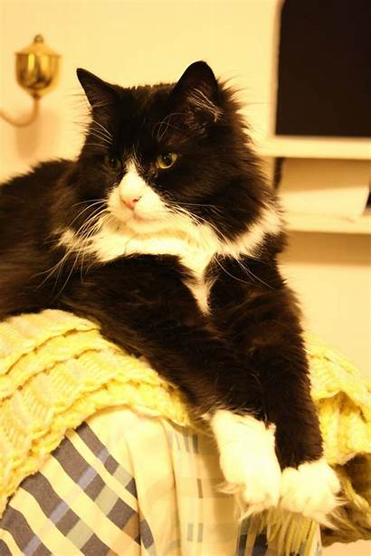 Haired Cat Cats Resolution Tuxedo Domain 2592