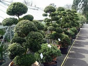 Arbre En Nuage : les niwaki arbres du jardin japonais forme taille esp ces ~ Melissatoandfro.com Idées de Décoration