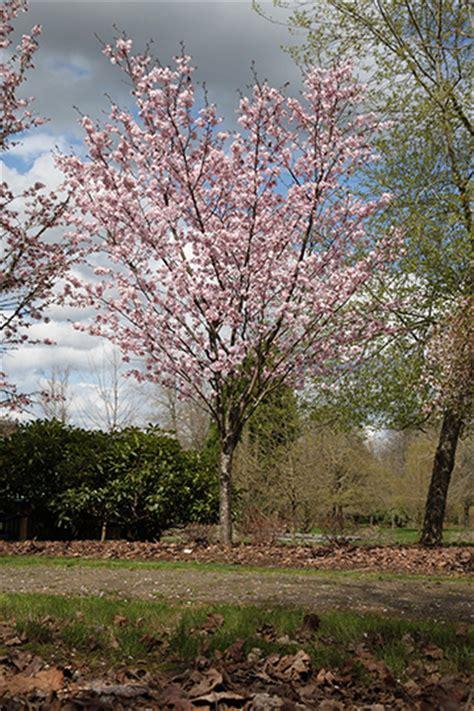 pink flowering cherry tree pink flair flowering cherry glover nursery