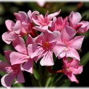 Oleander Draussen überwintern : oleander garten pinterest nerium trees to plant und garden ~ Eleganceandgraceweddings.com Haus und Dekorationen