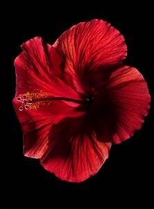 Wann Schneidet Man Hibiskus : hibiskus schneiden hibiskus schneiden einebinsenweisheit ~ Lizthompson.info Haus und Dekorationen