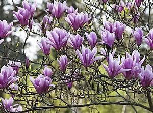 Quand Planter Lavande Dans Jardin : quand et comment planter un magnolia dans son jardin ~ Dode.kayakingforconservation.com Idées de Décoration