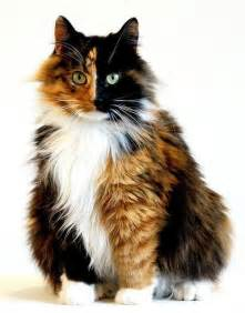 calico cat calico cat kitties
