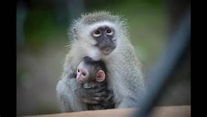 Heart Of Africa Welcomes Baby Vervet Monkey