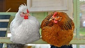 How an ancient pope helped make chickens fat | Science | AAAS
