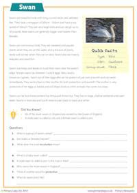 reading comprehension swans