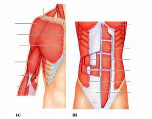 Anterior Trunk  Shoulder  And Arm Muscles
