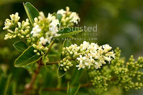 tree privet  flower ligustrum species national